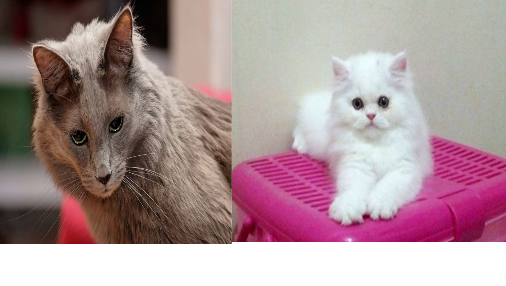 kucing angora dan persia - Membedakan Kucing Ras Persia & Angora