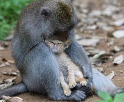Monyet jantan bernama Positi ini mengasuh anak kucing.
