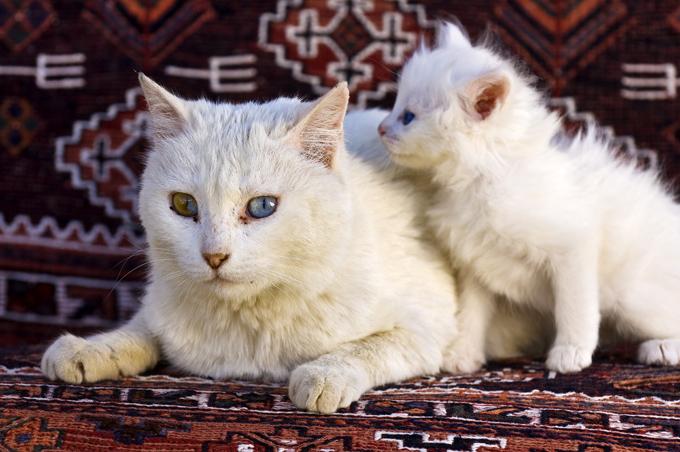 turkish angora - Membedakan Kucing Ras Persia & Angora