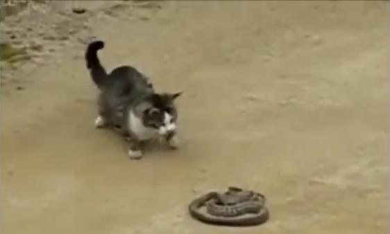 kucing melawan ular - Beranda