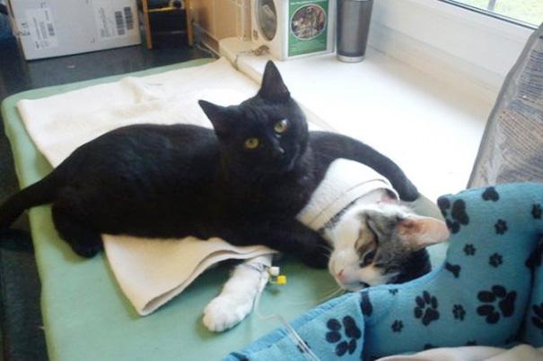 Cara mengatasi kaki kucing yang terkilir.