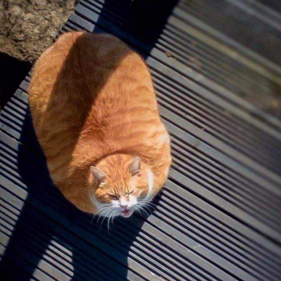 20161014070434 - Ini Nih Cara Diet pada Kucing. Yuk Dipahami
