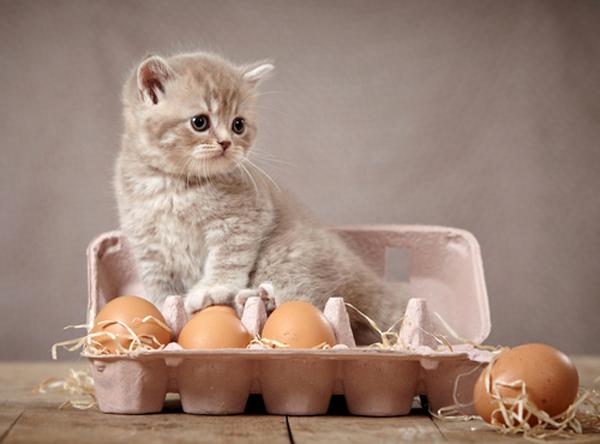 Manfaat telur untuk kucing.