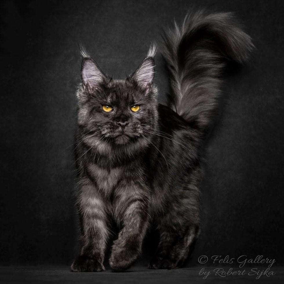 maine coon7 - 10 Fotografi Kucing Berikut Buktikan Bahwa Maine Coon itu Istimewa