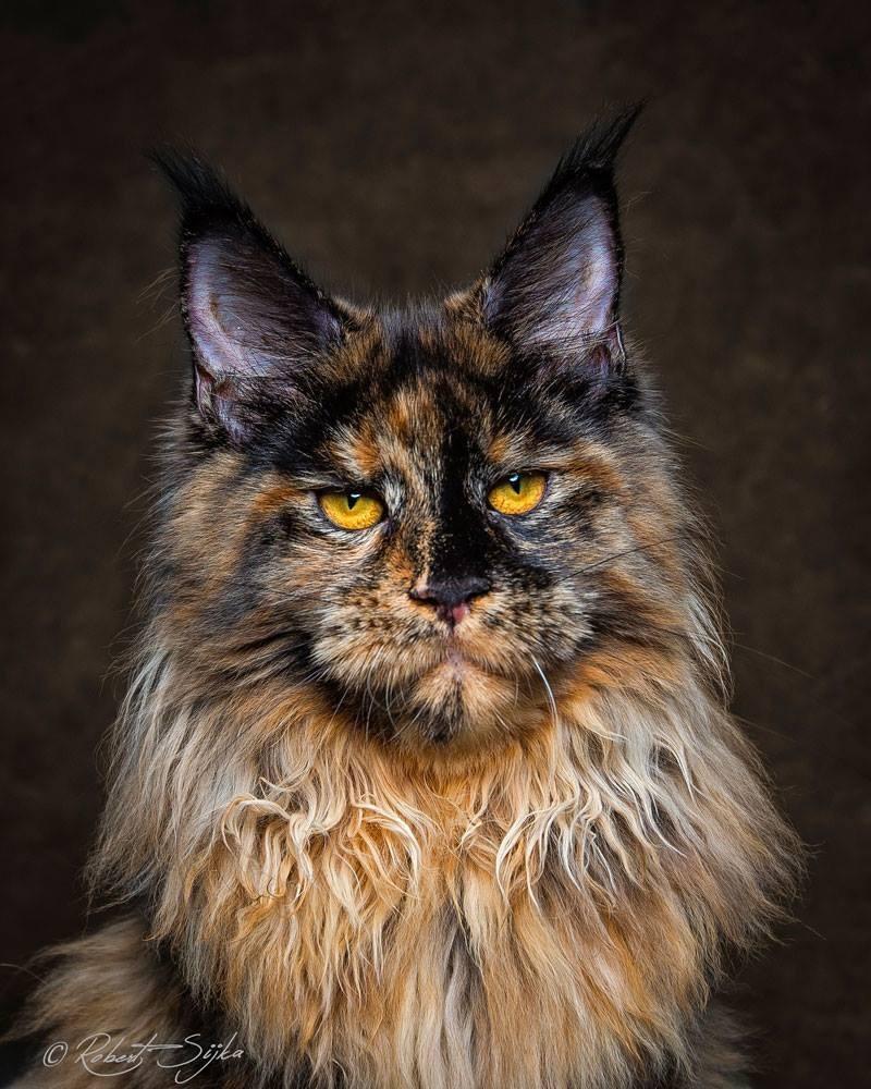 maine coon8 - 10 Fotografi Kucing Berikut Buktikan Bahwa Maine Coon itu Istimewa