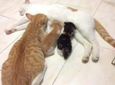 Kitten memijat untuk memperlancar aliran susu padda induknya. tapi yang ini sepertinya ada yang salah deh.