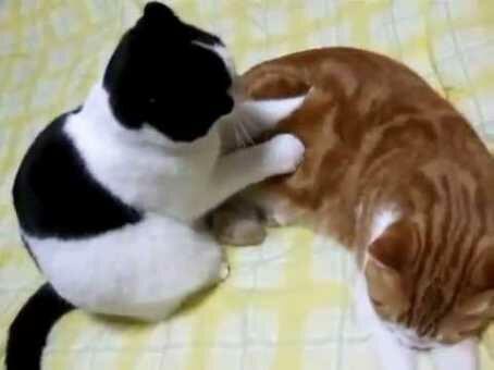 Tanda kucing betina masuk masa birahi.