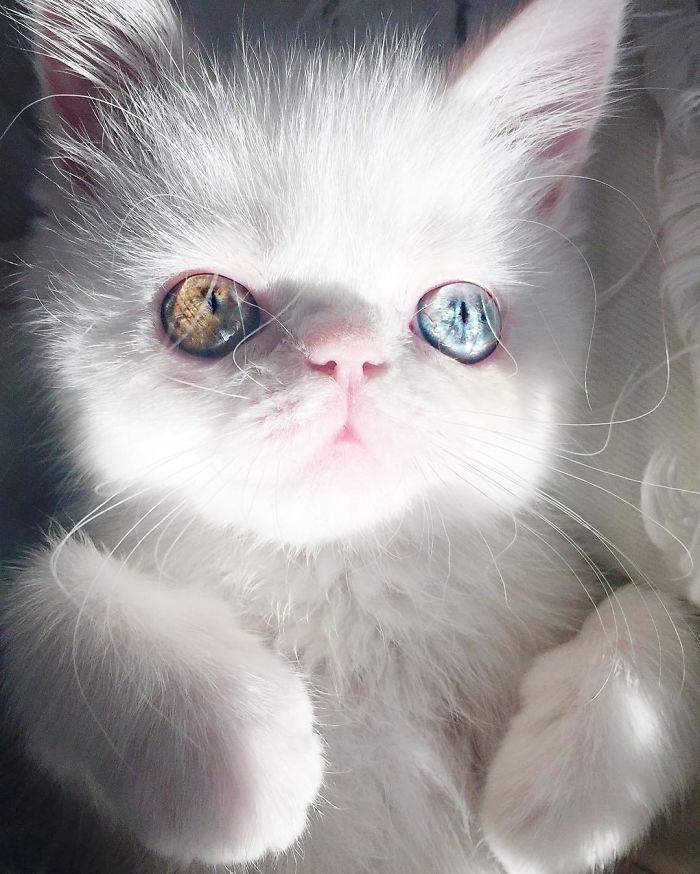 pam pam - Pam Pam, Kucing Heterochromia yang Menghipnotis Banyak Orang