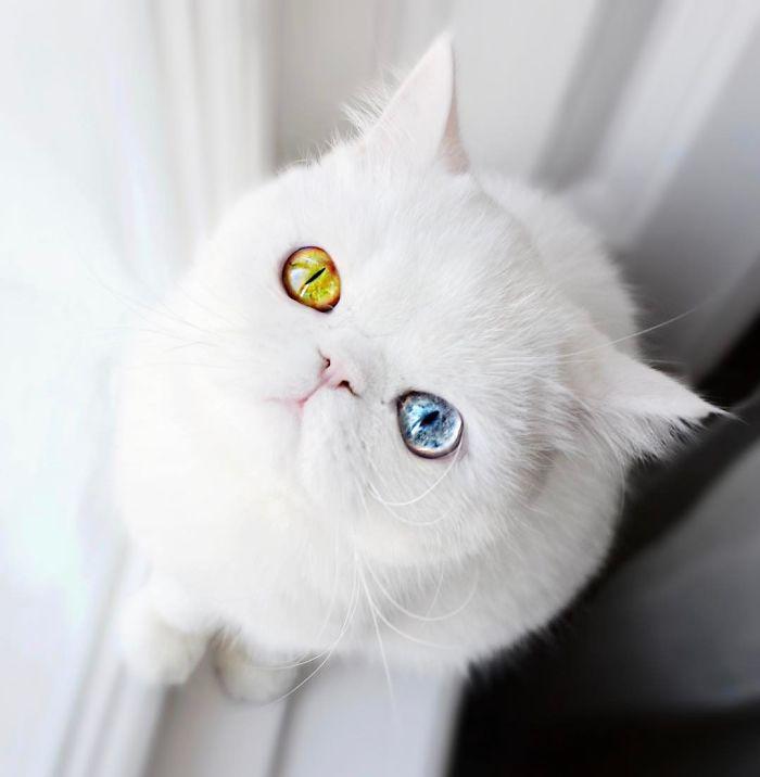 pam pam3 - Pam Pam, Kucing Heterochromia yang Menghipnotis Banyak Orang