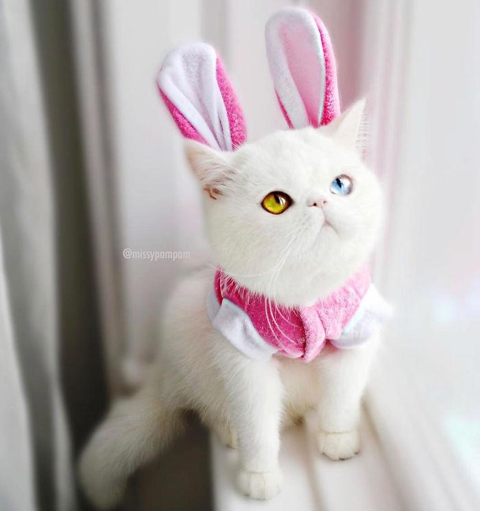 Pam-pam, kucing Heterochromia yang menghipnotis banyak orang.