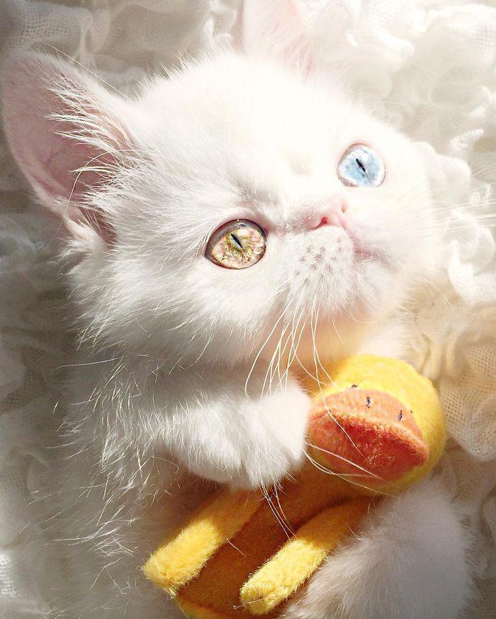 pampam5 - Pam Pam, Kucing Heterochromia yang Menghipnotis Banyak Orang