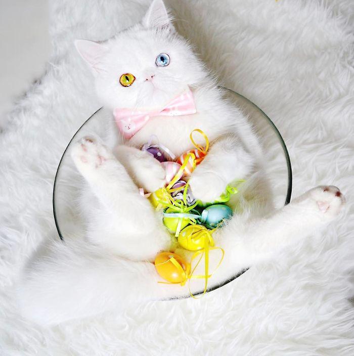 pampam6 - Pam Pam, Kucing Heterochromia yang Menghipnotis Banyak Orang