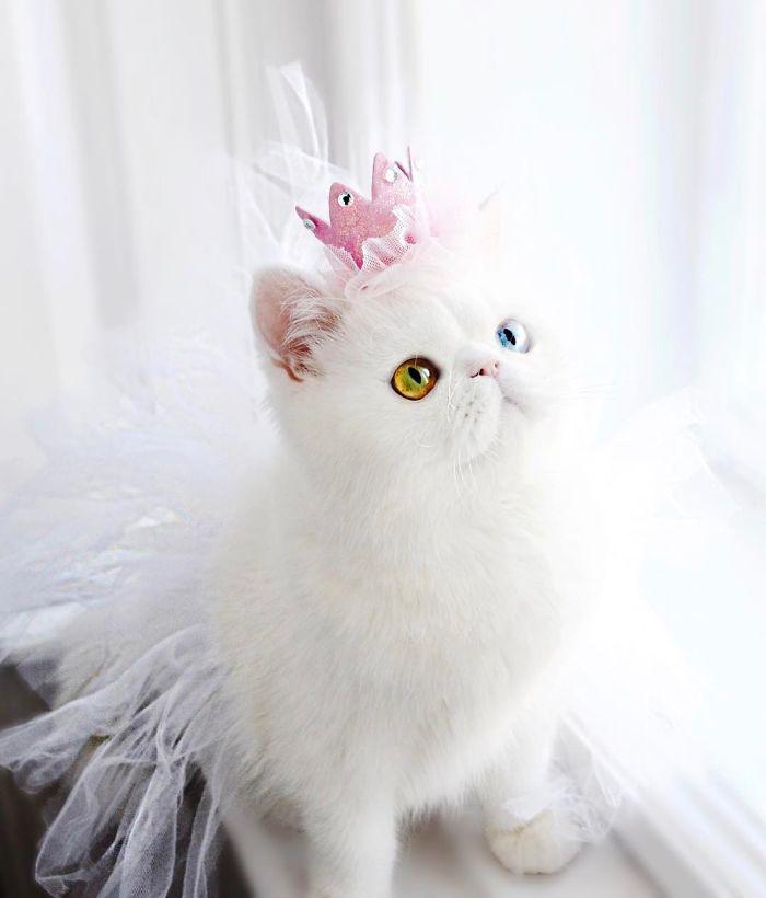pampam7 - Pam Pam, Kucing Heterochromia yang Menghipnotis Banyak Orang