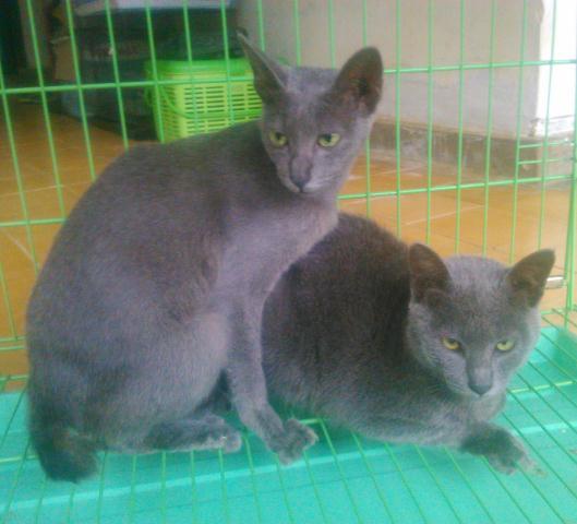 kucing busok - Mengenal Kucing Busok, Kucing Eksotis Asal Madura