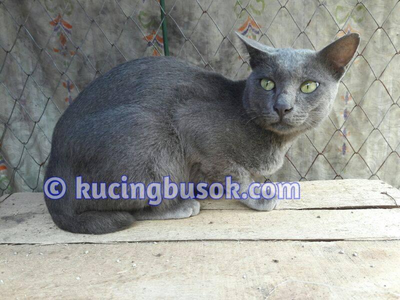 kucing busok2 - Mengenal Kucing Busok, Kucing Eksotis Asal Madura