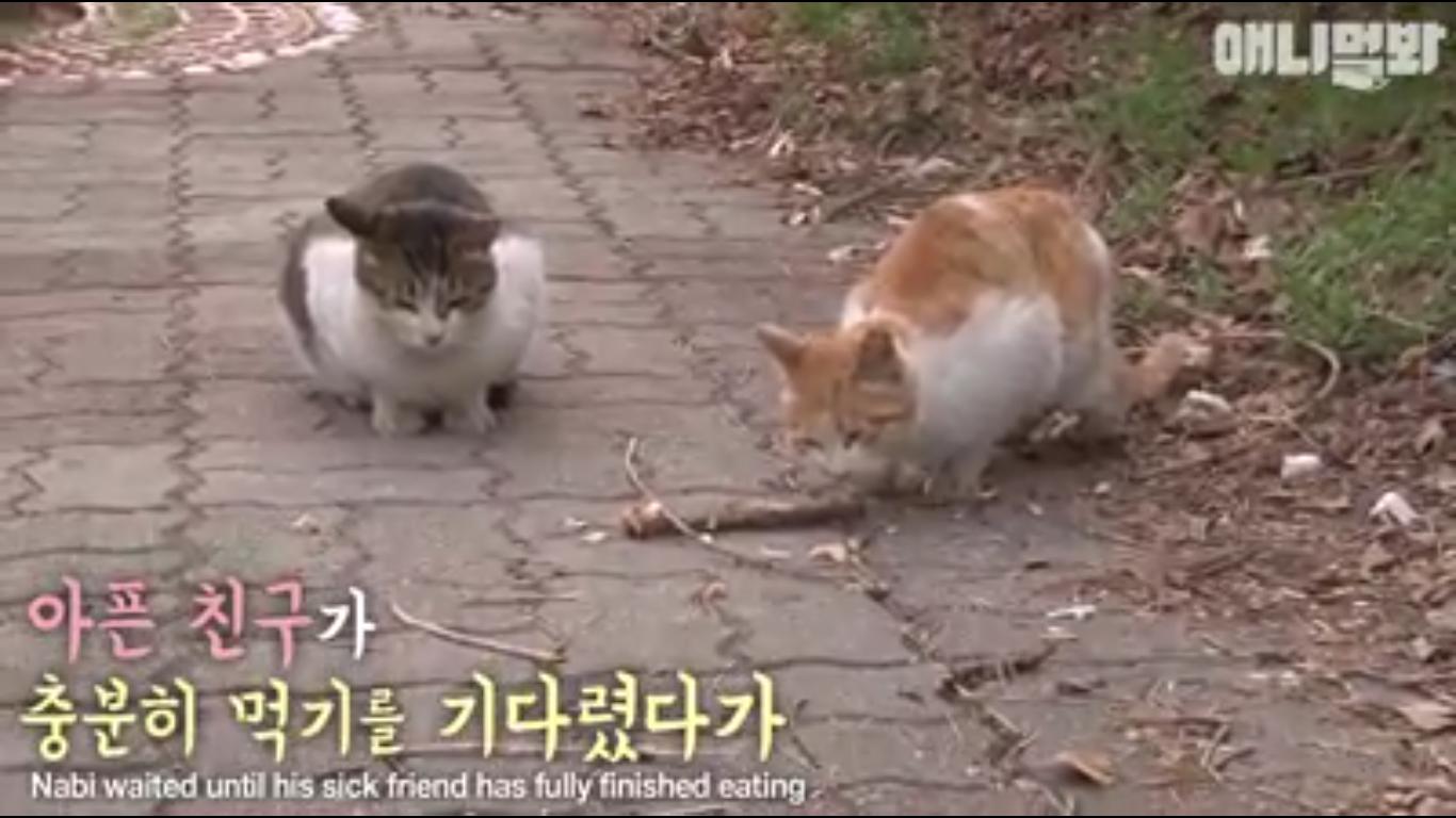 menjagasahabat2 - Mengharukan, Kucing ini Setia Menjaga Sahabatnya yang Cacat