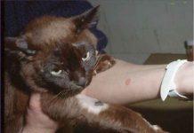 Ringworm pada kucing dan manusia.