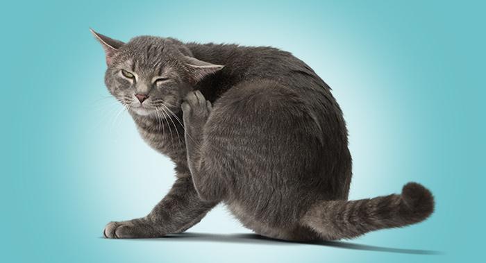 Waspadalah saat si kucing terlihat gatal dan menggaruk berlebihan.