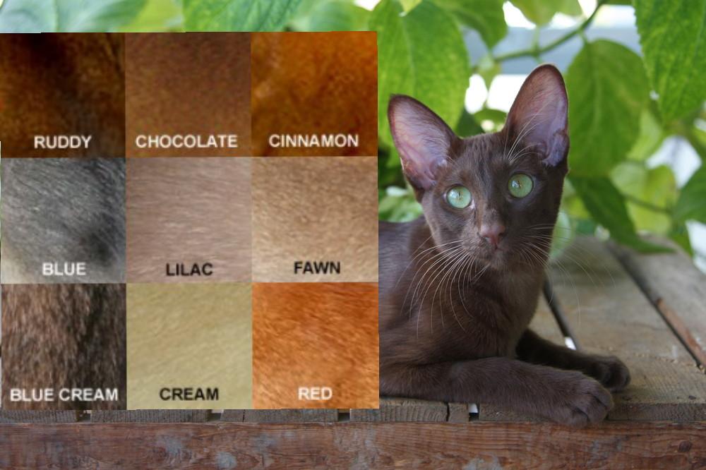 kucing abysinian3 picsay - Mengenal Kucing Pintar, Abyssinian