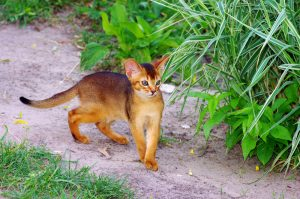 kucing abyssinian 300x199 - Mengenal Kucing Pintar, Abyssinian
