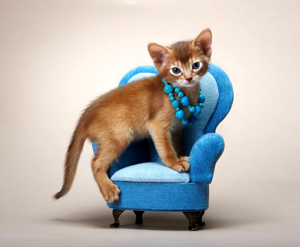 kucing abyssinian2 - Mengenal Kucing Pintar, Abyssinian