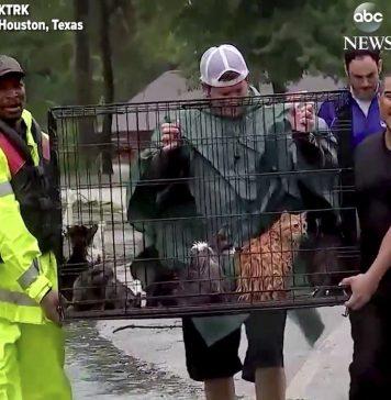 Upaya penyelamatan kucing di tengah banjir yang melanda Houston.