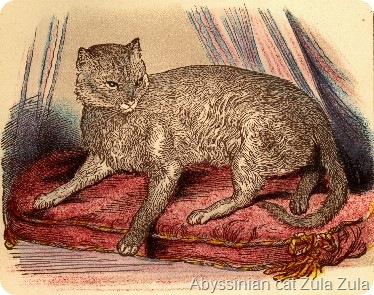 zula abyssinian pertama - Mengenal Kucing Pintar, Abyssinian