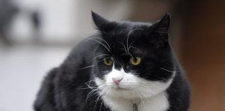 Inilah Parmeston. Kucing berstatus PNS yang saat ini menjadi sorotan media asing karena prestasinya.