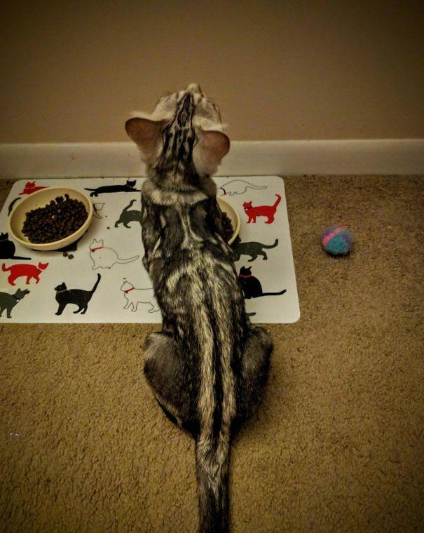kucing dengan motif bulu tak biasa13 - 13 Kucing dengan Motif Bulu yang Tak Biasa