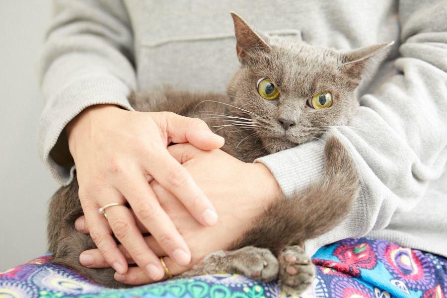Shamo, kucing dengan wajah pemarah saat ini mencari adopter.