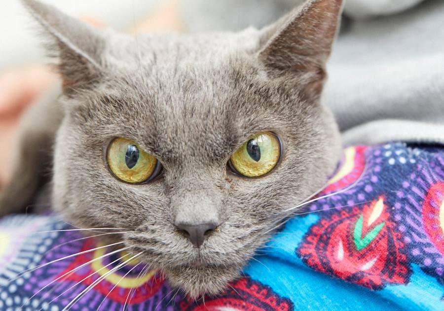 shamo1 - Tak Ada yang Mau Mengadopsi Kucing ini karena Punya Wajah Pemarah