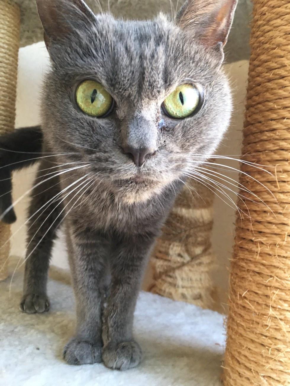 shamo2 - Tak Ada yang Mau Mengadopsi Kucing ini karena Punya Wajah Pemarah
