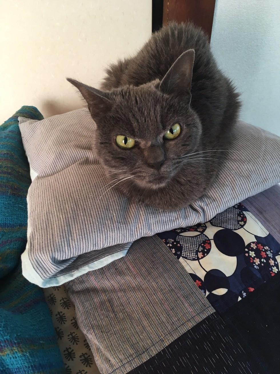 shamo3 - Tak Ada yang Mau Mengadopsi Kucing ini karena Punya Wajah Pemarah