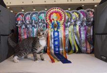 Spartapus Yayang. Dari kucing buangan menjadi pemenang international cat show CFA kelas House Hold Pet (HHP). Gambar :