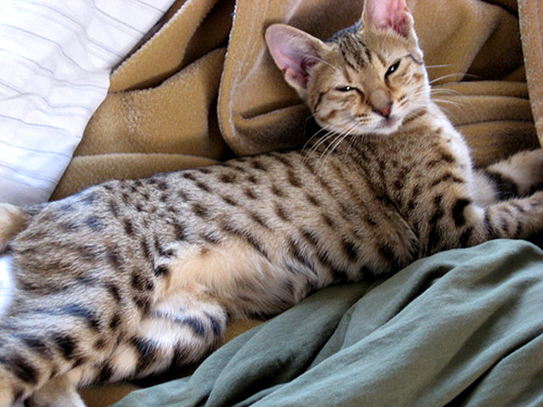 Spotted tabby.