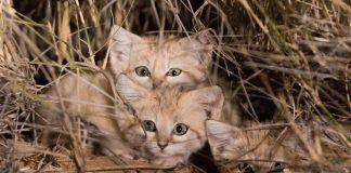 Tim peneliti Panthera berhasil abadikan video kucing pasir di Gurun Sahara.
