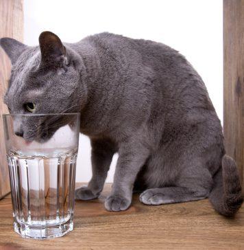 Trik mudah berikut bisa kamu terapkan agar kucingmu mau minum air lebih banyak.