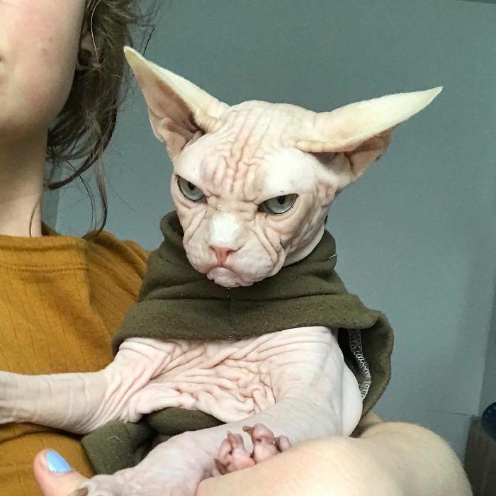 loki22 - Lucunya Loki, Kucing Sphynx Berwajah Mirip Kakek Pemarah