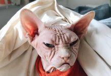 Lucunya Loki, kucing sphynx dengan wajah mirip kakek tua pemarah.
