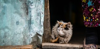 kucing kurap