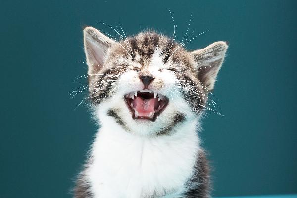 cat crying1 - Benarkah Kucing Mengeluarkan Air Mata Tanda Ia Sedang Menangis ?