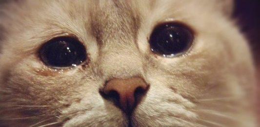 Benarkah kucing mengeluarkan air mata tanda ia sedang menangis ?.
