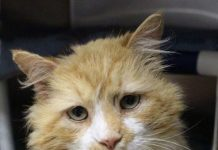 Setelah berjalan sejauh 19 Km untuk pulang ke pemilik lamanya, kucing bernama Toby ini justru dibuang lagi untuk kedua kalinya.
