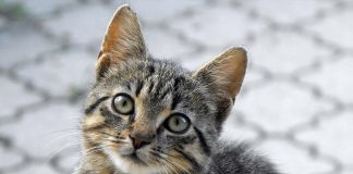 kebiri kucing jantan