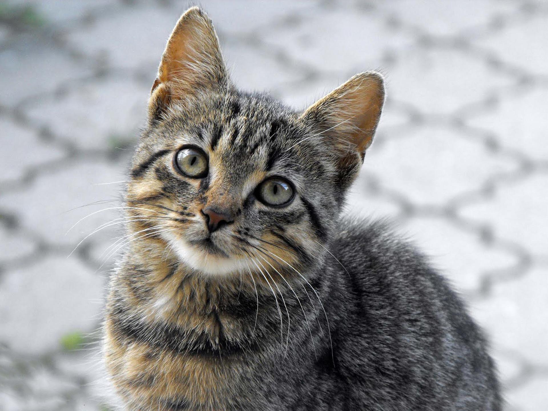 Kebiri Kucing Jantan Perlukah Kucing Lucu Net