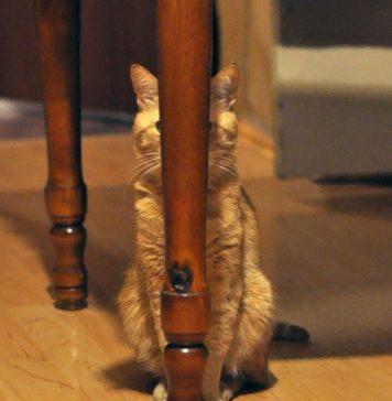 13 aksi kamuflase kucing yang menggemaskan. Kamu bisa melihatnya ?