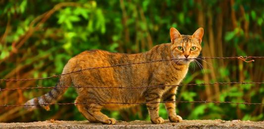 kucing hamil