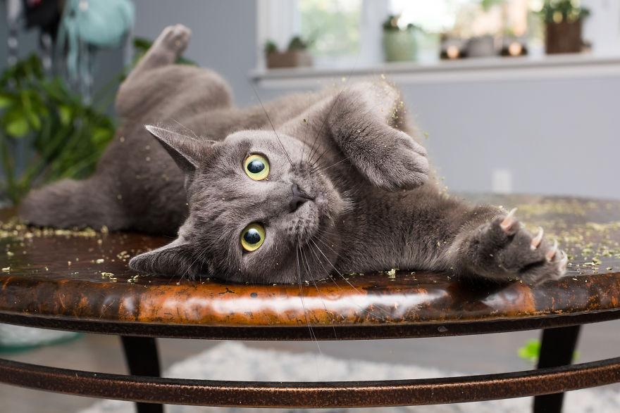 Lihat gimana gemasnya kucing saat mabuk catnip.