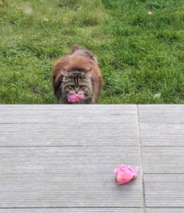 kucing bawa bunga ke tetangga - Kucing ini Selalu Bawakan Bunga ke Rumah Tetangga Barunya, So Sweet !