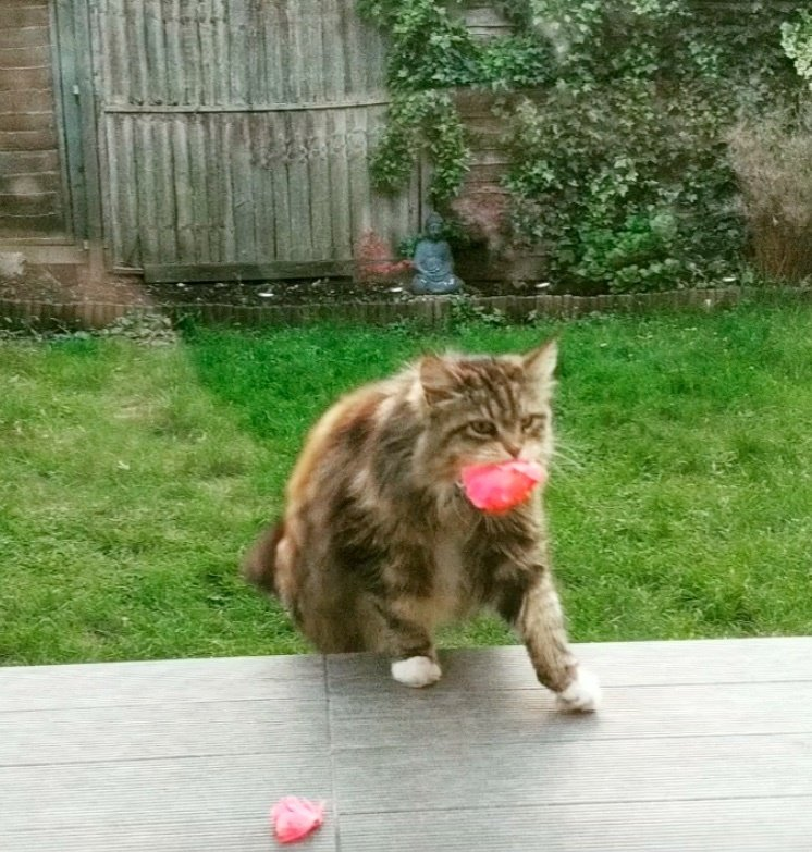 kucing bawa bunga ke tetangga1 - Kucing ini Selalu Bawakan Bunga ke Rumah Tetangga Barunya, So Sweet !